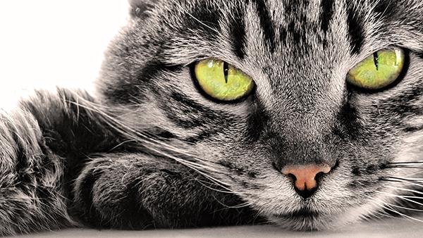 Bolest mačjeg ogreba